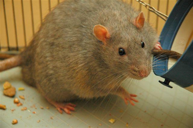 Rat_diabetic