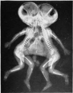 EmbryonsAvec2tetes-min