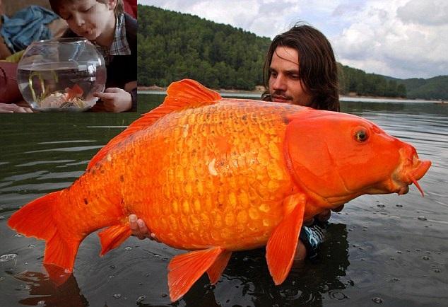 Maurice, le poisson rouge, a visiblement poussé le bouchon un peu trop loin (Photo)