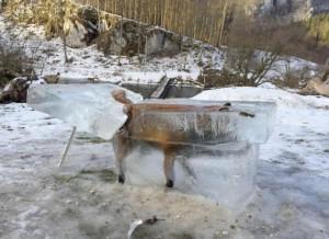678Un renard pris au pi__ge par le Danube
