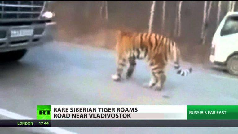 La Russie lâche 800.000 tigres dans le pays pour faire respecter le confinement
