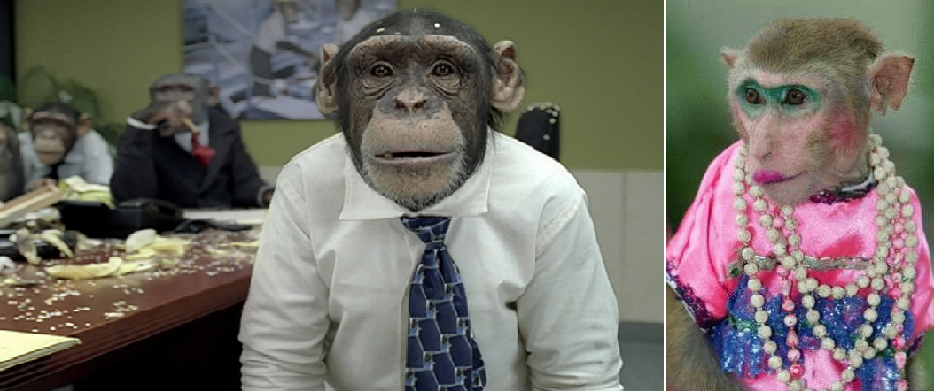 chimpanzé guenon nordpresse