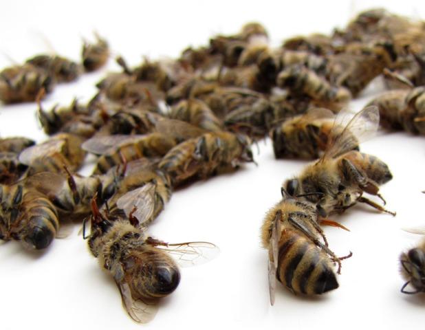 abeilles-mortes
